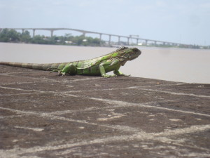Lizard at Fort Zeelandia on the Surinam River